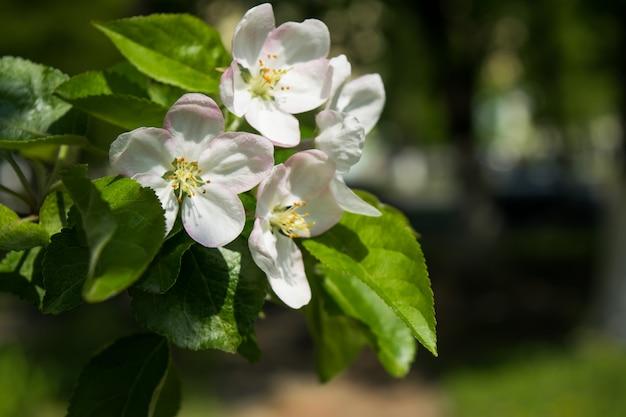 Frühling weiße blüten. blühender apfelbaumast im garten. tiefenschärfe