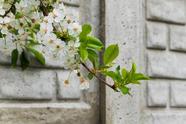 Frühling weiße blüten. blühender baumast gegen die wand