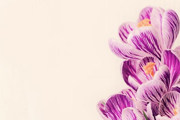 Frühling zarte blütenblätter von krokusblüten lila gefärbt.