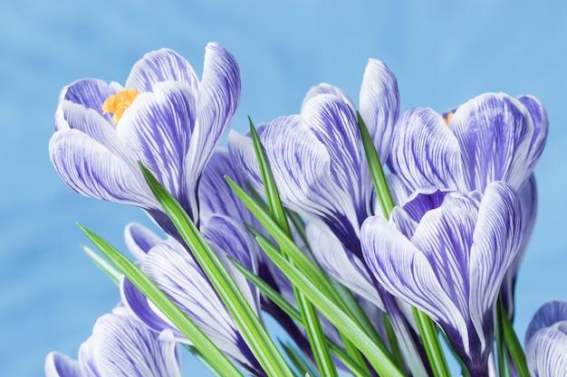 Frühling zarte blumen blau gefärbt, strauß krokusse. natürlicher blumiger hintergrund mit kopienraum. nahaufnahme blütenblätter von tulpen selektiven fokus.