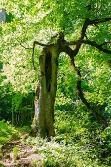 Frühlings- oder sommerlandschaft mit einem waldweg und einem alten urigen baum mit einer mulde