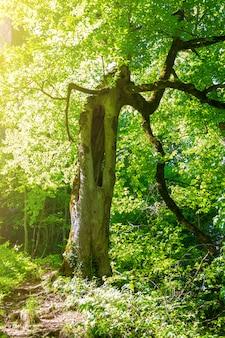 Frühlings- oder sommerlandschaft mit einem waldweg und einem alten urigen baum