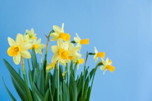 Frühlings-ostern-blumenstrauß von gelben narzissen auf blauem hintergrund mit kopienraum.