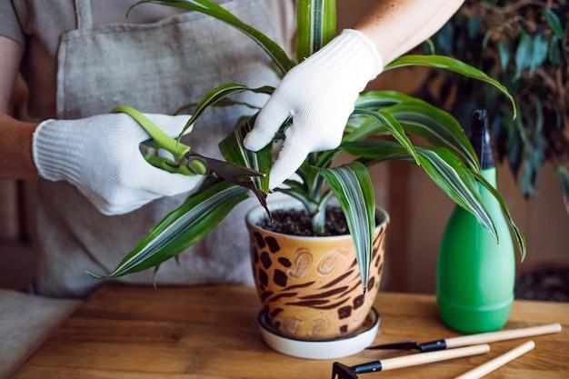 Frühlings-zimmerpflanzenpflege, die zimmerpflanzen für den frühling aufweckt, weibliche hände sprühen und wäscht die blätter