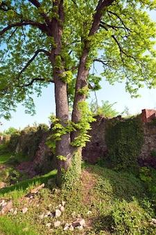 Frühlingsansicht des schlosshofes von uzhhorod. erbaut zwischen dem 13. und 18. jahrhundert.