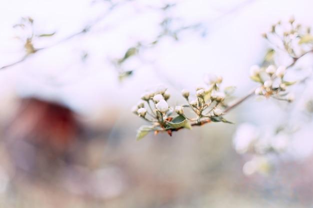 Frühlingsapfelblüte, die geht zu blühen