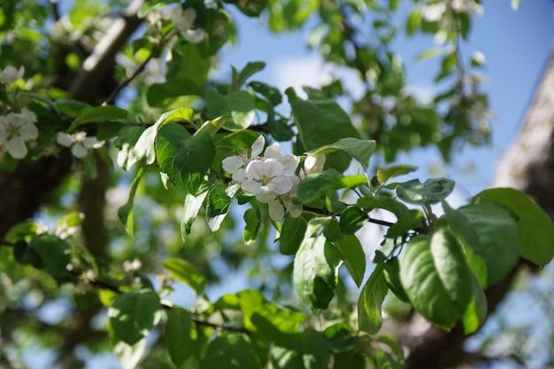Frühlingsapfelblumenhintergrund frühlingsblühende apfelblumen frühlingsapfelblumen im garten frühlingsblumenlandschaft