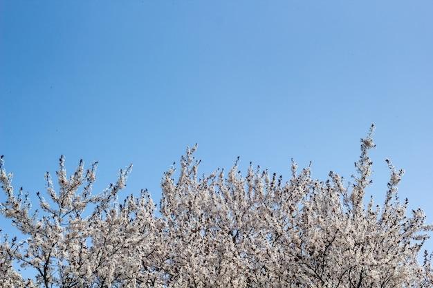 Frühlingsaprikosenblüten über blauem himmel