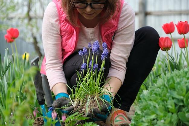 Frühlingsarbeit im garten, frauenhände in handschuhen mit gartenwerkzeugen, im vordergrund blaue muscari blüht traubenhyazinthe