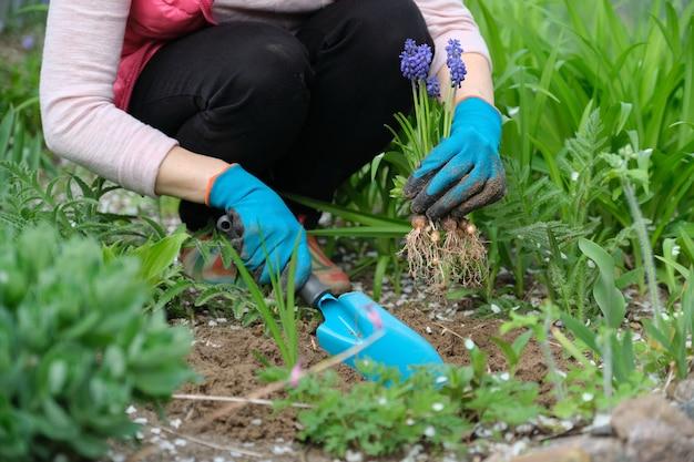 Frühlingsarbeit im garten, frauenhände in handschuhen mit gartenwerkzeugen, im vordergrund blaue muscariblumen traubenhyazinthe