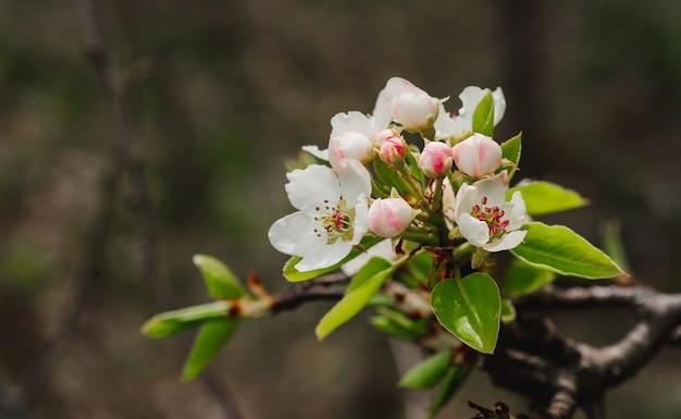 Frühlingsbanner, zweige des blühenden birnbaums. zarte weiße und rosa blütenknospen.