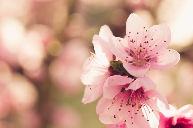 Frühlingsbaum mit rosa blumen