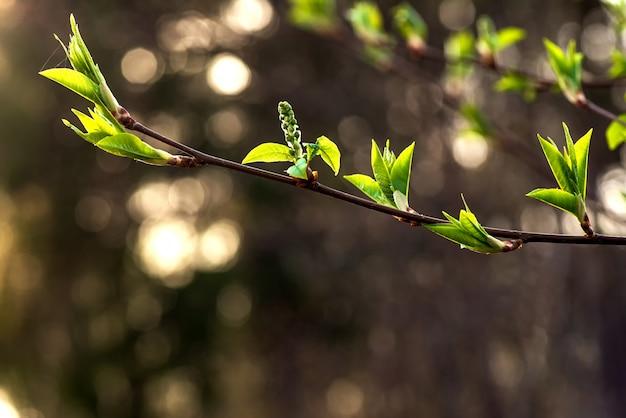 Frühlingsbaumast mit blättern auf einem unscharfen
