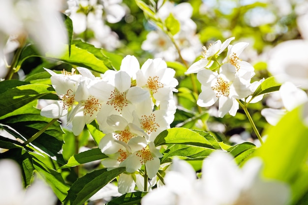 Frühlingsbaumblüte, grüne und weiße sonnige blumen