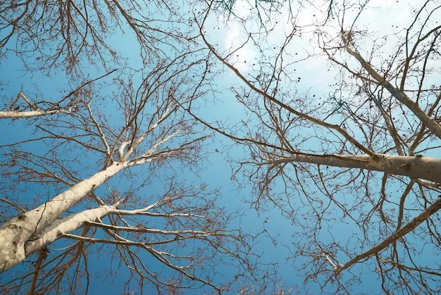 Frühlingsbaumkronen mit blauem himmel und wolken