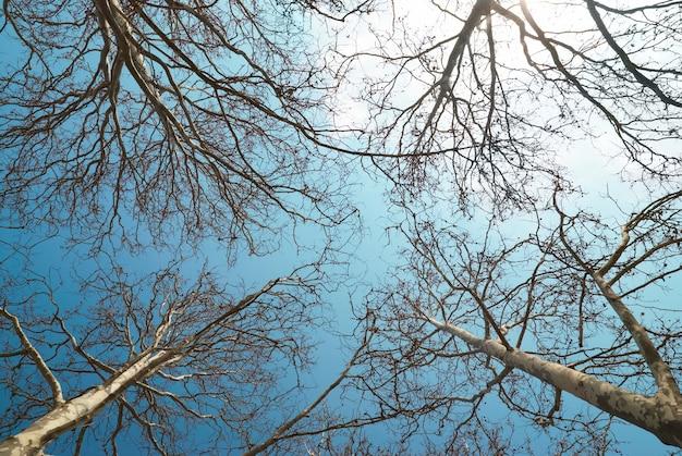 Frühlingsbaumspitzen mit blauem himmel und wolken