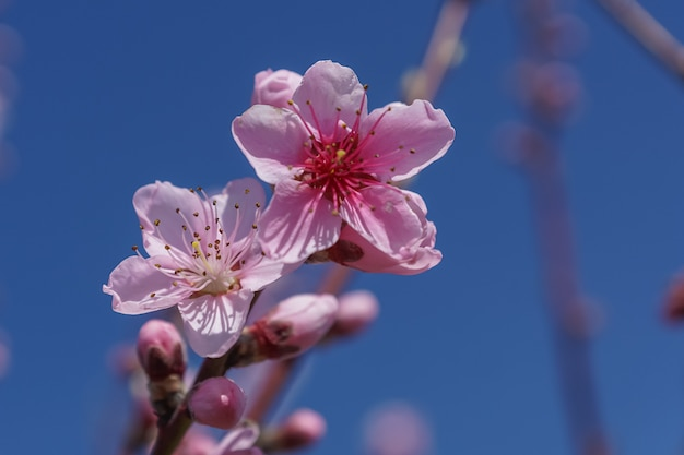 Frühlingsbild. pfirsichblütenniederlassung auf hintergrund des blauen himmels.
