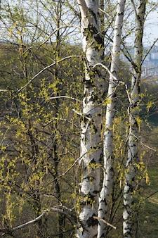 Frühlingsbirke im stadtpark.