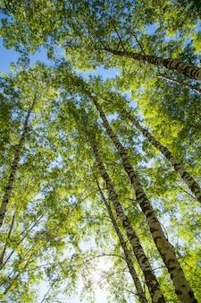 Frühlingsbirkenwald mit strahlender sonne