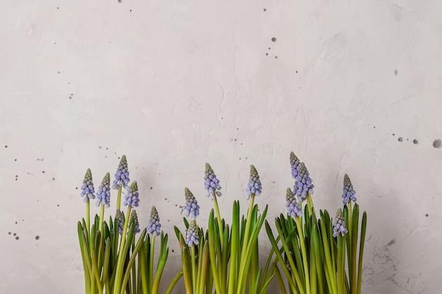 Frühlingsblaue muscari blüht auf rustikalem grauem hintergrund. speicherplatz kopieren