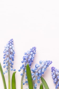 Frühlingsblaue muscari-blüten. muscari blüht auf rosa pastellhintergrund. frühlingsgrußkarte.