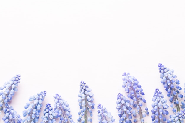 Frühlingsblaue muscari-blüten