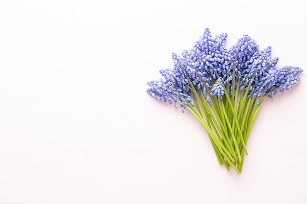 Frühlingsblaue muscari-blüten.