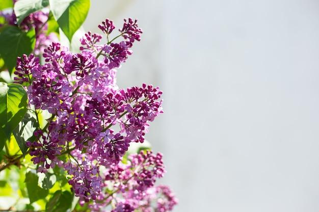 Frühlingsblühende blumen von flieder auf fliederbüschen. natürlicher hintergrund mit kopienraum, platz für text draußen.