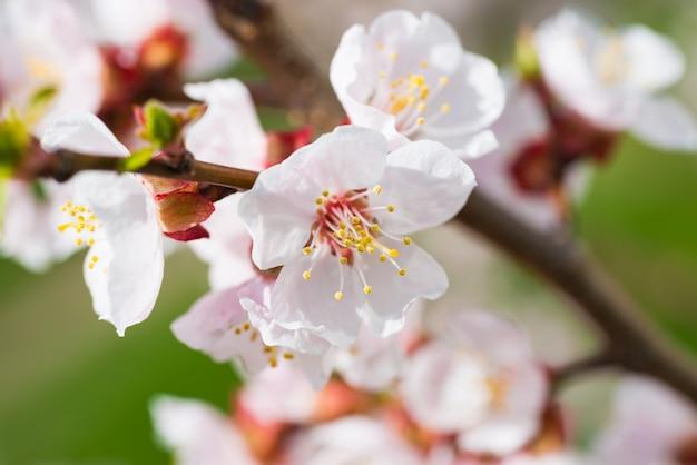 Frühlingsblühende weiße frühlingsblumen auf einem baum gegen weichen blumenhintergrund