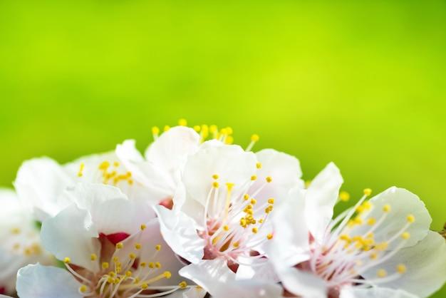 Frühlingsblühende weiße frühlingsblumen auf einem baum gegen weichen blumenhintergrund Premium Fotos