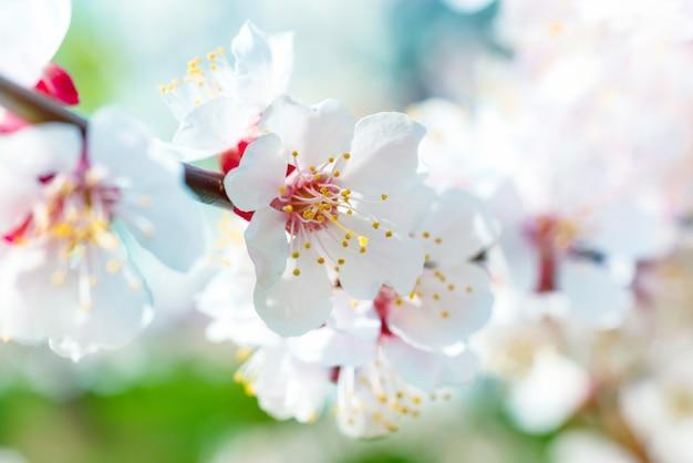 Frühlingsblühende weiße frühlingsblumen auf einem baum vor weichem blumenhintergrund