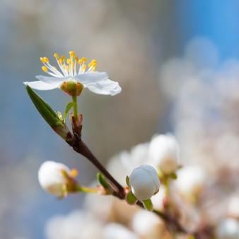 Frühlingsblühende weiße frühlingsblumen auf einem pflaumenbaum gegen weichen blumenhintergrund