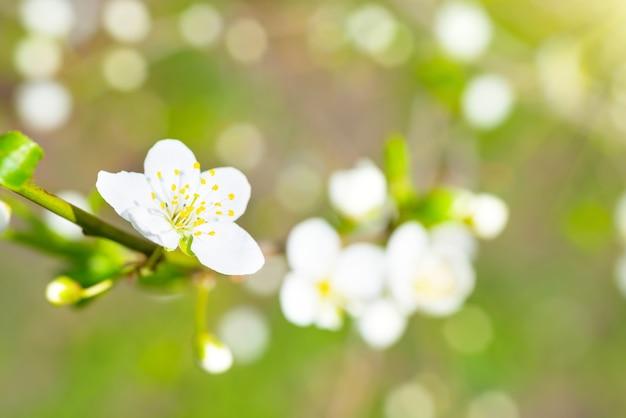 Frühlingsblühende weiße frühlingsblumen auf einem pflaumenbaum vor weichem blumenhintergrund Premium Fotos
