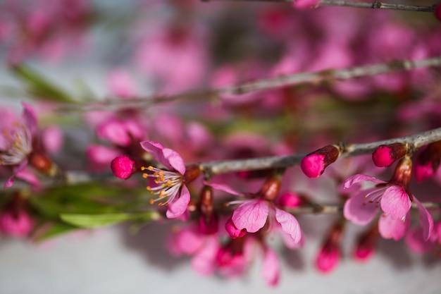 Frühlingsblühende zweige, rosa blüten
