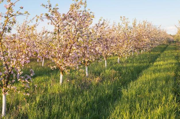 Frühlingsblühender apfelgarten im sonnenlicht