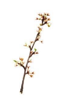 Frühlingsblühender zweig mit weißen knospen an einer weißen wand