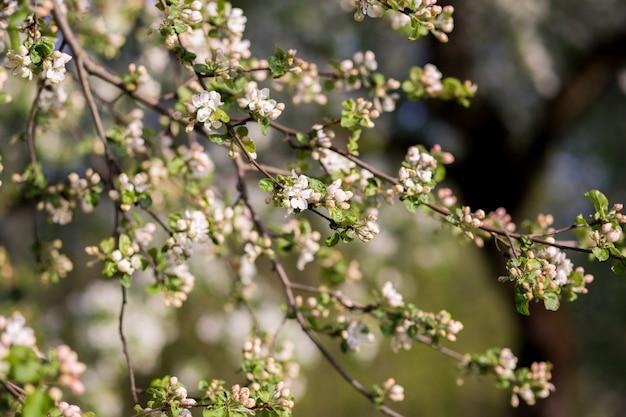 Frühlingsblüte. blütenbaum. frühlingsdruck. apfelbaumzweig. apfelblüte