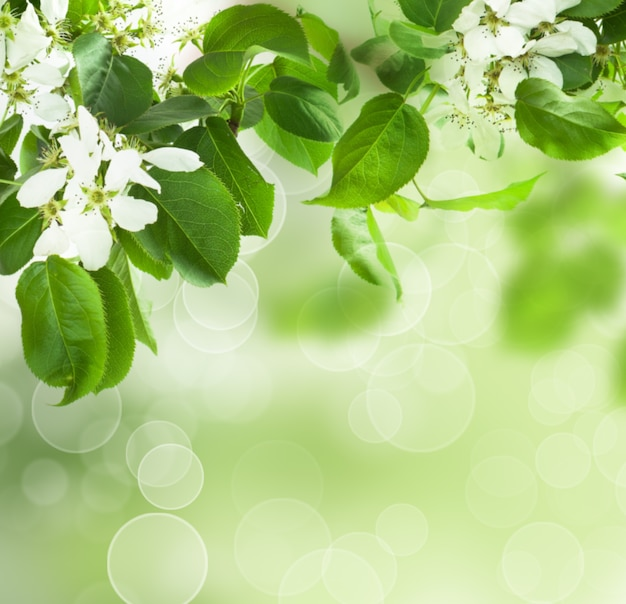 Frühlingsblüte - blumenrand aus grünen blättern und weißen blüten.