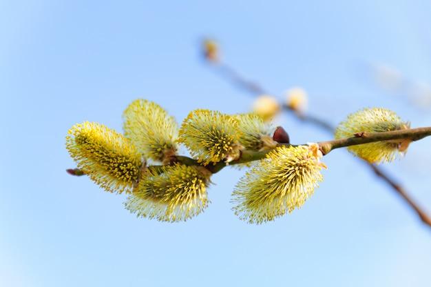 Frühlingsblüte der bäume