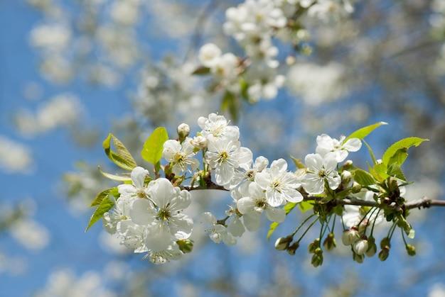 Frühlingsblüte des apfelbaums gegen blauen himmel