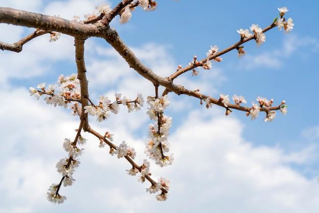 Frühlingsblüte des aprikosenbaums