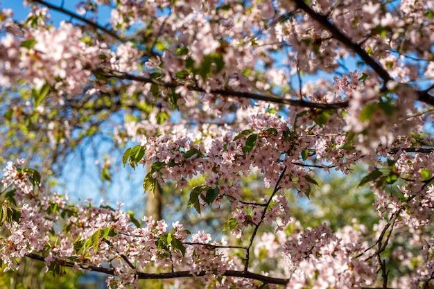 Frühlingsblütenhintergrund. schöne naturszene des blühenden baums. rosa blüten an den zweigen.