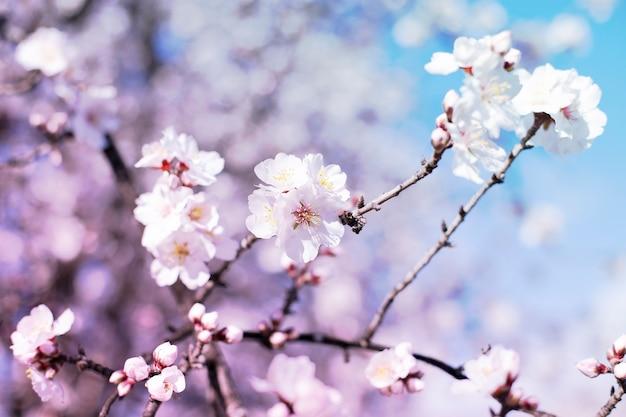 Frühlingsblütenhintergrund. schöne naturszene mit blühendem baum am sonnigen tag. frühlingsblumen. schöner obstgarten im frühling. abstrakter hintergrund.
