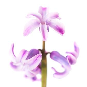 Frühlingsblume lila hyazinthe isoliert auf weißem hintergrund. studio-makroaufnahme