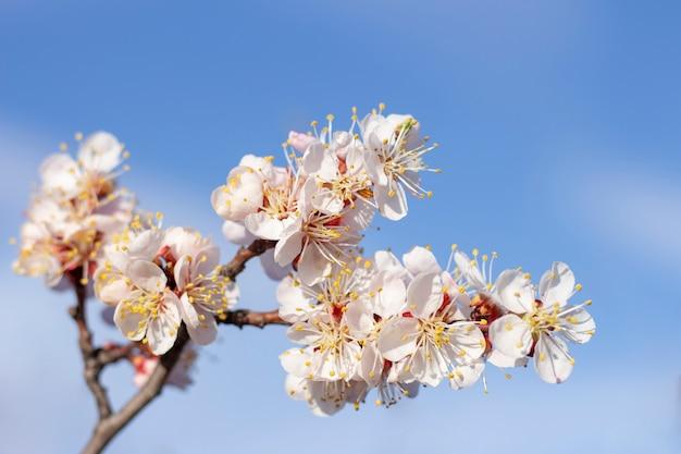 Frühlingsblumen blühen auf frucht aprikosenbaum