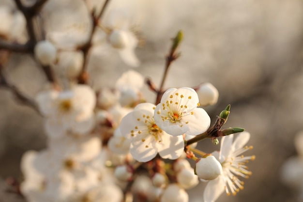 Frühlingsblumen, die auf einem baum bei sonnenuntergang blühen