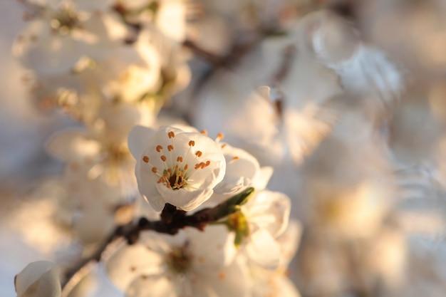 Frühlingsblumen, die auf einem baum im morgengrauen blühen