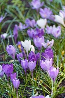 Frühlingsblumen in der wilden natur. krokusse im frühling.
