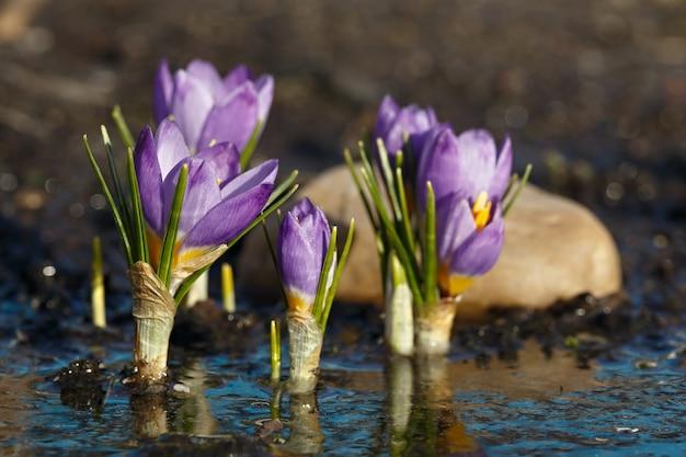 Frühlingsblumen nach dem schmelzen des schnees. blühende krokusknospen spiegeln sich während der frühlingserwärmung im wasser.