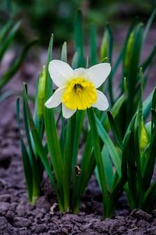 Frühlingsblumen-narzisse auf natürlichem sonnenuntergang